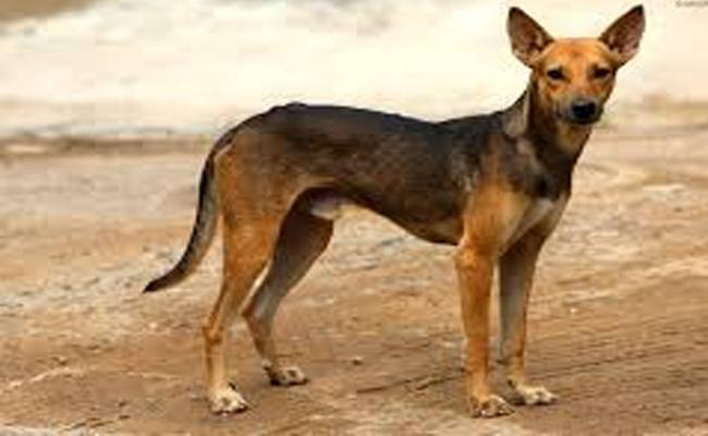 Dog Bites 33 Members In Parakala - Sakshi
