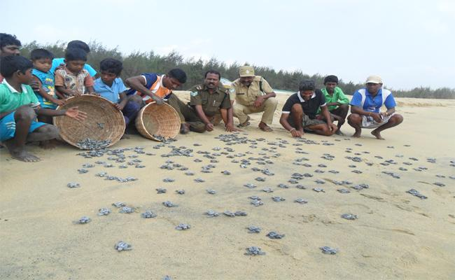 The Survival Of The Sea Turtle Is Questionable - Sakshi