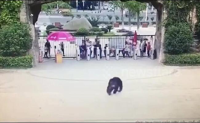 Chimpanzee Escapes Zoo Enclosure In China - Sakshi