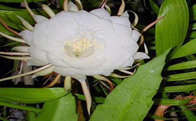 Himalayan Flower Bloomed In Andhra Pardesh  - Sakshi