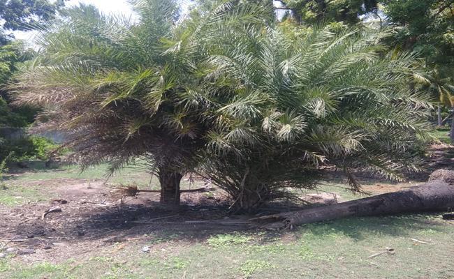 Dates Palm Trees Smuggling In West Godavari District - Sakshi