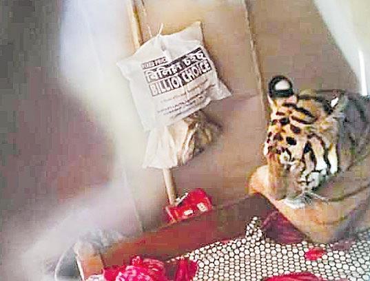 Flood fury forces Kaziranga tiger to take shelter in shop - Sakshi