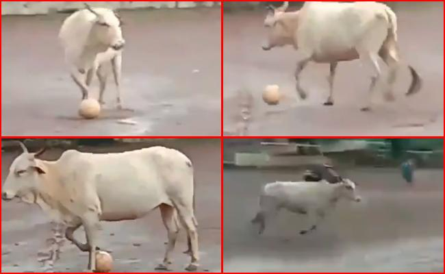 Cow Plays Football With Group of Boys on Field in Viral Video - Sakshi