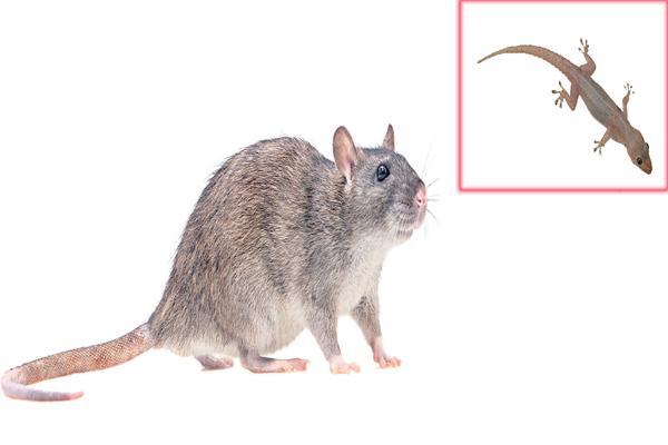 Ten Thousand for a rat and Three Thousand for a lizard - Sakshi