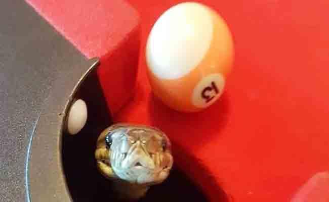 Huge Python Found Inside Pool Table - Sakshi
