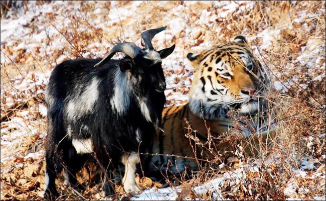 Goat And Tiger Secret Story - Sakshi