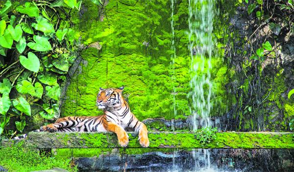 Tigers Are In Danger Of Disappearing From This Planet - Sakshi