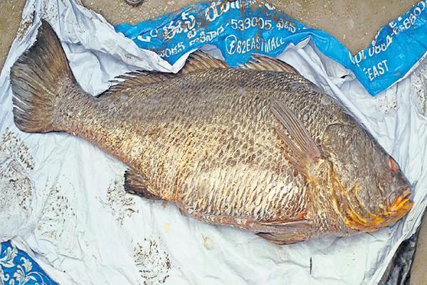 30 kg of kachchidi fish found On the coast of Kakinada - Sakshi