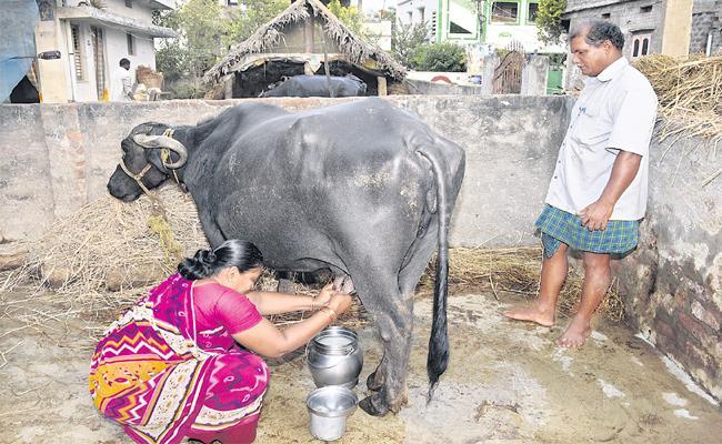 Dairy Farm Special Story - Sakshi