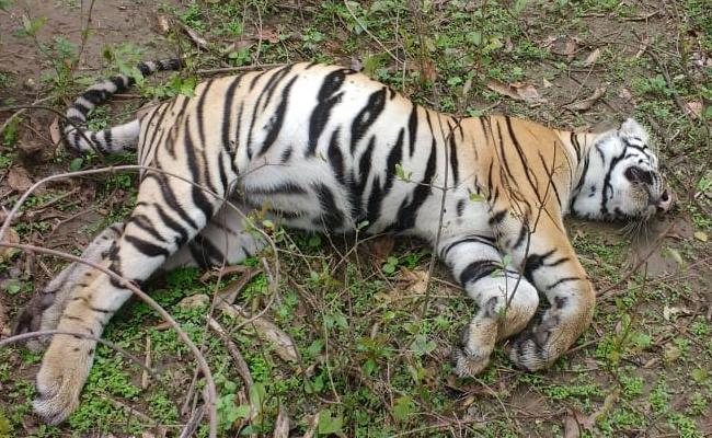 Tigress and her two cubs found dead in Chimur Forest area of Chandrapur - Sakshi