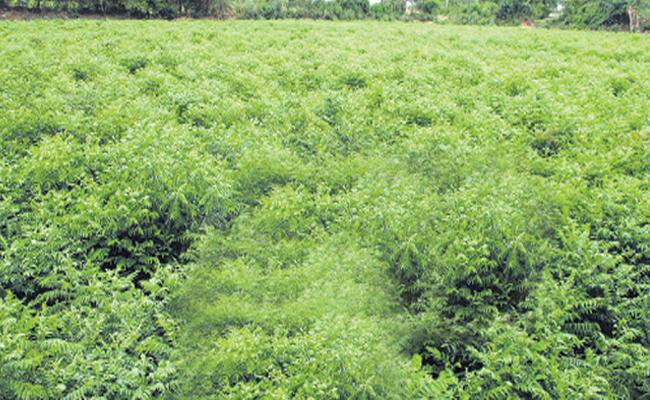 Curry Leaf Exports From Uravakonda to Mumbai - Sakshi