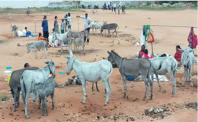 Donkey Milk Has Getting High Price In Kadiri Town, Anantapur - Sakshi