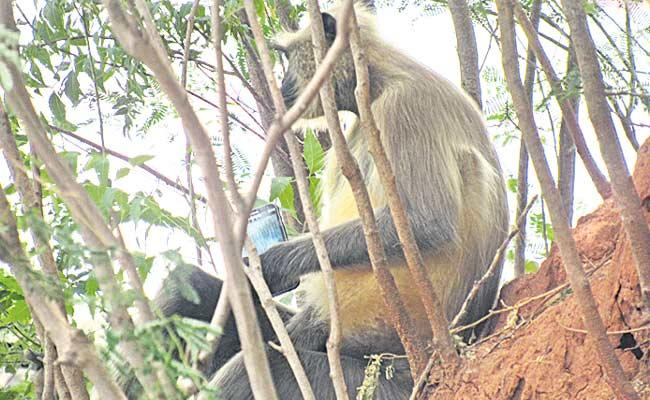 Langur Monkey Got Phone - Sakshi