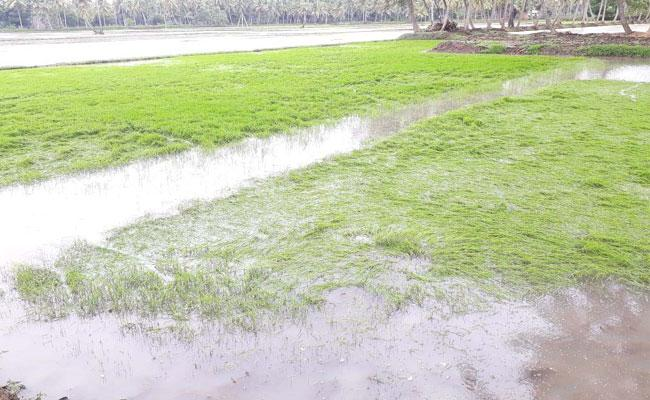 Horticultural And Vegetable Crops Damaged In West Godavari - Sakshi