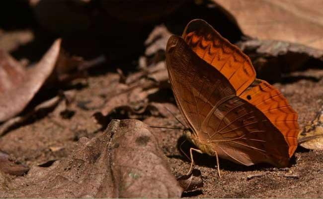 Tamil Nadu Becomes the 5th State To Declare State Butterfly - Sakshi