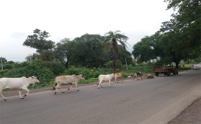 Cows Make Tribute To Their Friend Is So Sad Incident In Asifabad - Sakshi