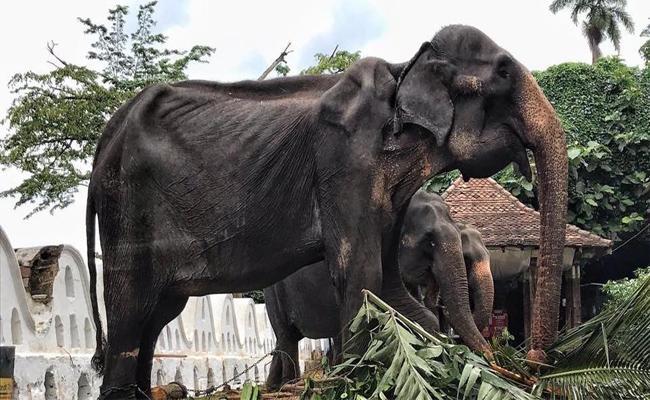 An Elderly Elephant Used To Parad In Sri Lanka - Sakshi