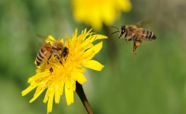 Honey Bees Are Going To Extinct - Sakshi