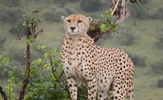 Cheetah Attacks On Dairy Cattle In Kamareddy District - Sakshi