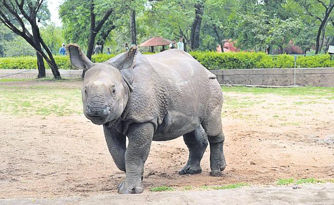 Rhino Ramu Sent to Vadalur From Nehru Zoological Park - Sakshi