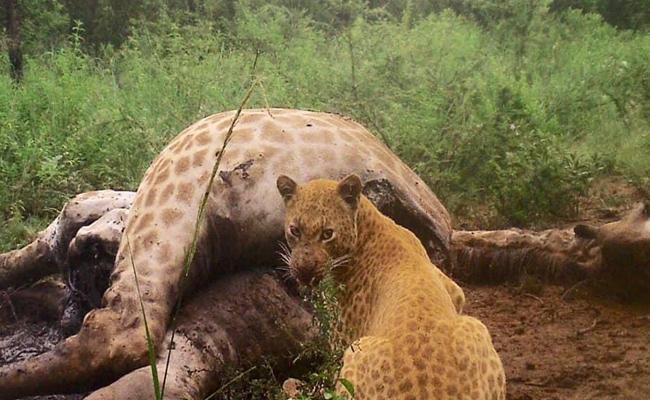 Rare Strawberry Leopard Pics Goes Viral On Facebook - Sakshi