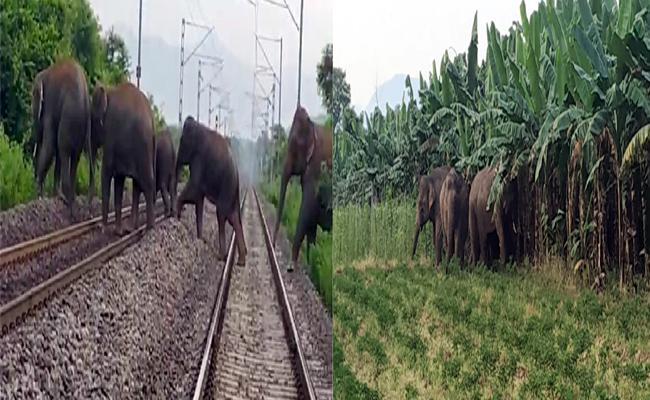 A Herd of Elephants Damage to Crops In Vizianagaram - Sakshi