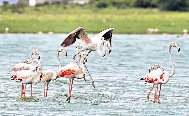 Flamingo Birds in Ameenpur Pond - Sakshi