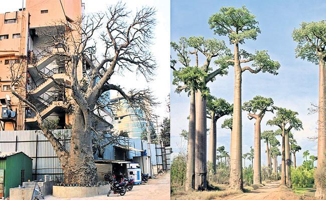 Baobab Tree in Hyderabad Nanakram Guda - Sakshi