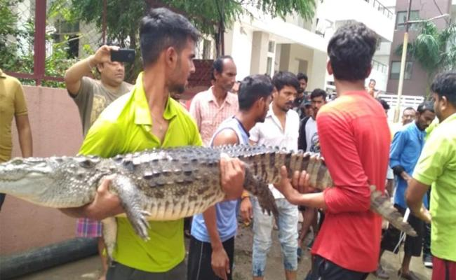 Floods Bring Crocodiles to Vadodara Streets - Sakshi