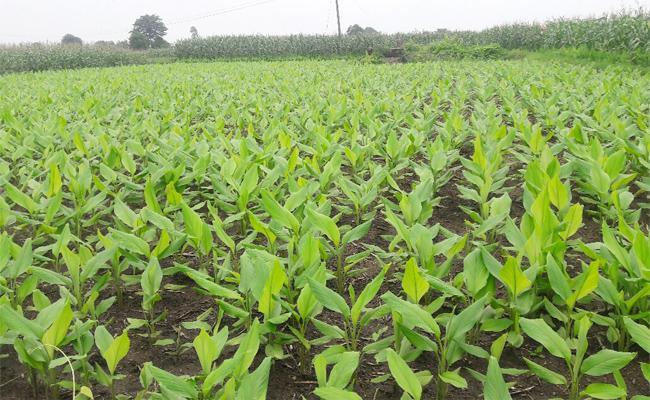 Nizamabad Turmeric Farmers Warning to Telangana Government - Sakshi