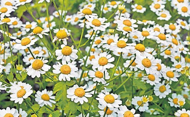 Cancer Treatment With Flower Emulsion - Sakshi