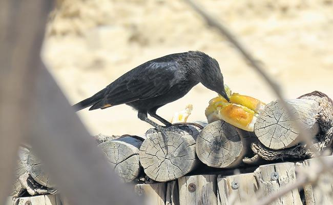 Crows love burgers and now they are getting high cholesterol - Sakshi