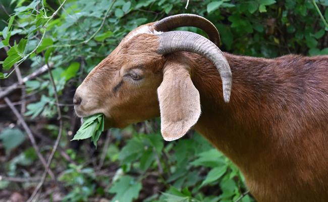 In Hyderabad Goats Eating Haritha Haram Plants Impose Fine - Sakshi
