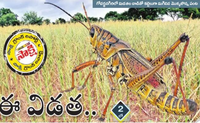 Grasshoppers Cause Heavy Damage To Corn Crop Farmers In Joint Medak District - Sakshi