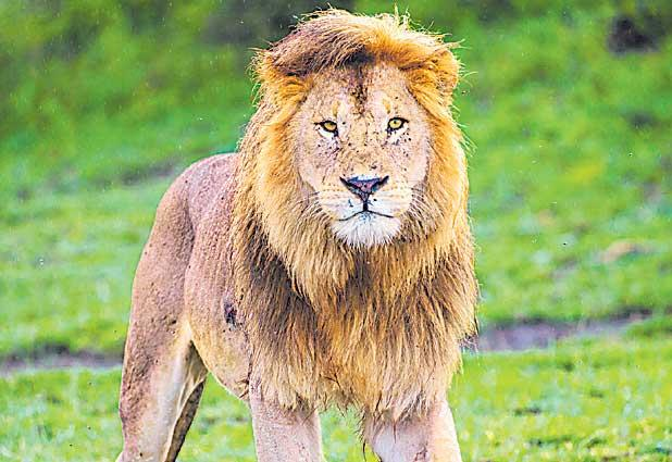 Seven lions walk into Junagarh city - Sakshi