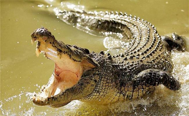 Farmer Escaped From Crocodile Attack In Orissa - Sakshi