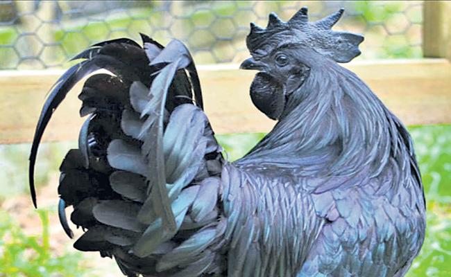 Kadaknath breed Chicken Prices range from Rs 1200 to Rs 1500 - Sakshi