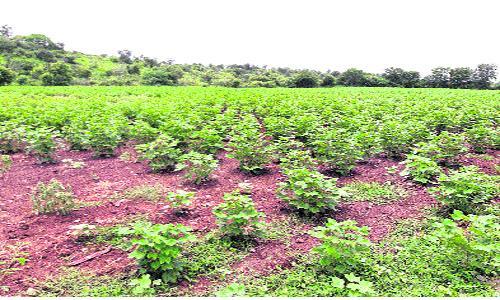 Cotton Cultivation Slow In Khammam - Sakshi