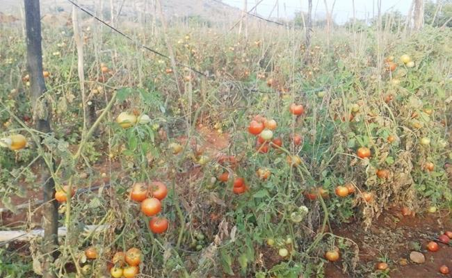 Tomato Crop Farmers Loss in This Rainy Season - Sakshi