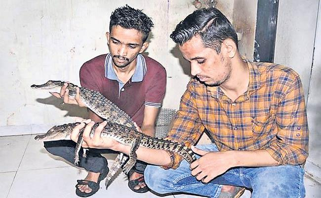Crocodile smuggling gang busted in Borivali By Forest officers - Sakshi