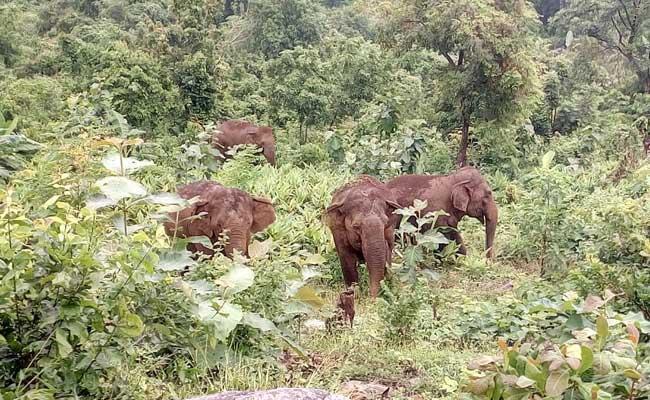 Elephant Gang Hulchul In Srikakulam District - Sakshi