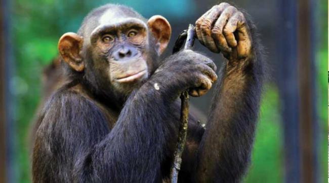Enforcement Directorate attaches chimpanzees, marmosets under PMLA - Sakshi