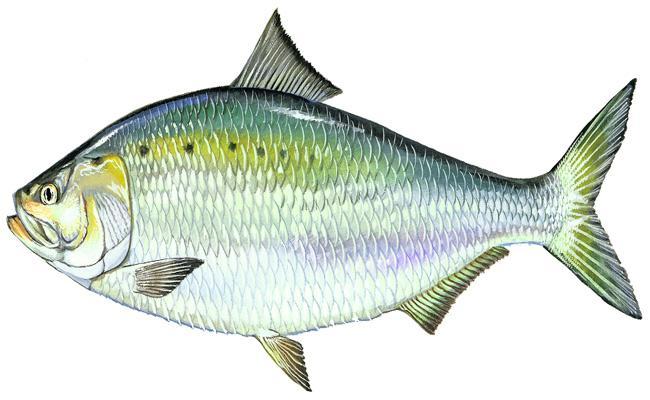 FFMA New Application For Fishing - Sakshi