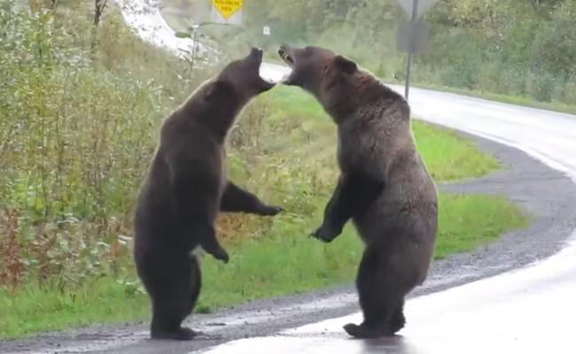 Grizzly Bears Growled Fighting Each Other At British Columbia Highway - Sakshi