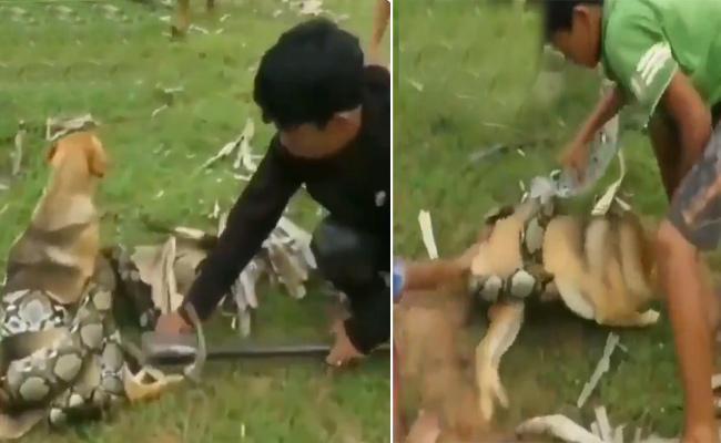 Three Kids Save Dog From Python - Sakshi