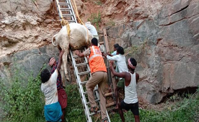 Cattle Falldown In 30 Meters Well In Emmiganuru Kurnool  - Sakshi