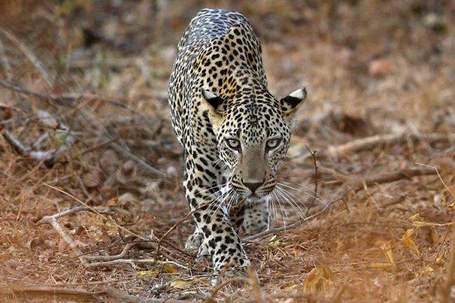 11-year-old Girl Saves 4-year-old Brother from Leopard Attack - Sakshi