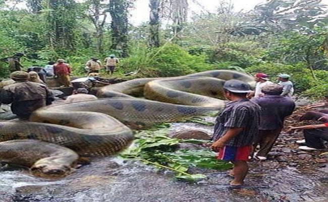 Truth Behind Largest Snake Killed In Amazon - Sakshi