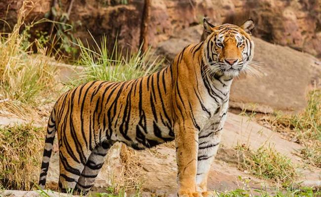 Bengal Tiger  - Sakshi