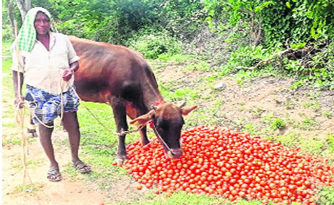 Uji Disease Spreading With Tomatoes In Chittoor - Sakshi